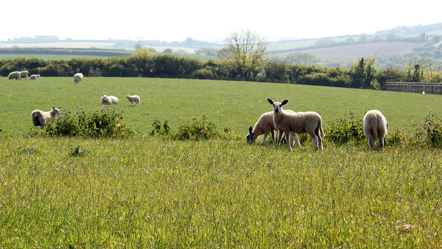Vose Farm Holiday Cottages Sheep